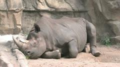 Black Rhinoceros Stock Footage