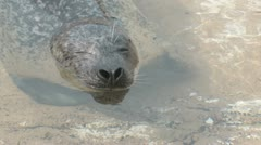 Harbor Seal Stock Footage
