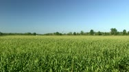Stock Video Footage of Giant Corn Field - Wide Shot