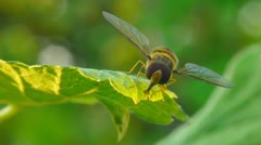 Striped fly moves on green leaf. Macro. Stock Footage