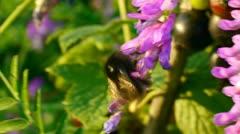 Bumblebee gathering pollen. - stock footage