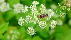 Orange black beetle collecting nectar. Stock Footage