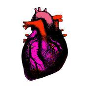 Heart anatomical illustration Stock Illustration