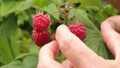 Hand picking ripe red summer fruiting raspberries Stock Footage