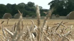 Wheat growing in a field, bails behind Stock Footage