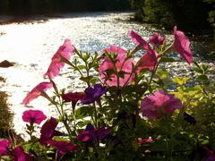 Pink Flowers w/ Sparkling River Background.JPG Stock Photos