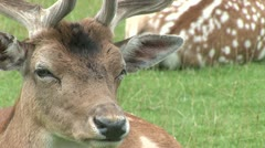 Deer, close up of head Stock Footage