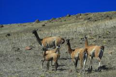 guanacos family - stock photo