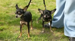 Two dogs of breed toy terrier walk on lawn with green grass Stock Footage