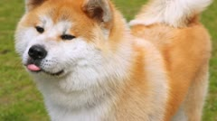 Dog of breed Shiba-inu stands on lawn with green grass Stock Footage