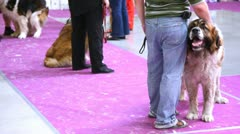 Dogs of breed Moscow Watchdog participates in an exhibition Stock Footage