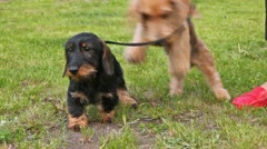 Two puppy of breed long-wool Badgerers walk on lawn Stock Footage