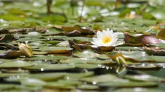 Beautiful lotus flower blossoming in the natural pond. Stock Footage