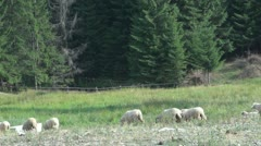 Sheep grazing Stock Footage