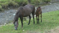 Free beautiful horses in mountain Stock Footage