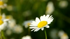 A daisy in the field Stock Footage