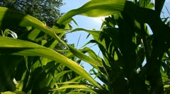 Light shines thru Corn - Lens Flare Stock Footage