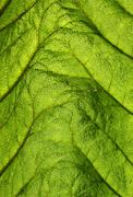 green leaf backlit - stock photo