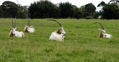 scimitar horned oryx resting - stock photo