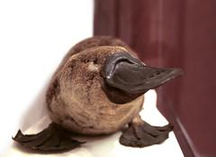 platypus portrait - stock photo