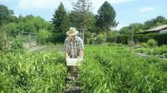 Farmer harvesting chillis Stock Footage