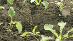 loosening up soil between plants in garden - stock footage