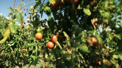 Tomato harvest Stock Footage