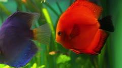 Red discus fish in aquarium Stock Footage
