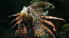Lionfish zebrafish underwater close-up Stock Footage