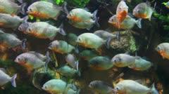 Piranhas fish underwater Stock Footage