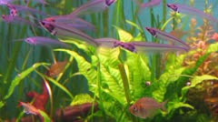 Transparent Glass or Ghost catfish under water Stock Footage