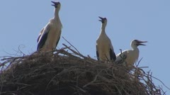 Family of storks in the nest Stock Footage