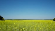 Stock Video Footage of Oilseed rape field