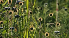 Seedpods and Grassy Wildflower Meadow in Breeze Stock Footage