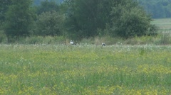 Storks in the meadow Stock Footage