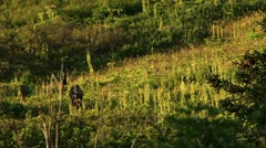 Moose Mother and Calf Walking on Hillside in Evening 1 - stock footage