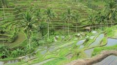 Terrace Rice field in Bali. - stock footage