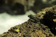 Lizard in volcanic rocks - stock photo