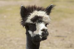 Alpaca black and white face on farm ranch 2630.jpg Stock Photos