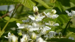 Blackberry bush blossoms and bee Stock Footage