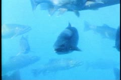 Trout swimming in lake, close up of trout, Queenstown, New Zealand Stock Footage