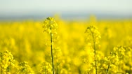 Canola Stock Footage