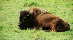 One American bison breathing Stock Footage