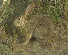 Riverine rabbit Stock Footage