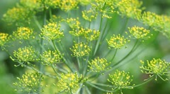 Fennel (dill) inflorescence flapping in the wind Stock Footage