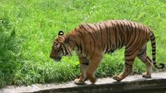 Tiger Walking near Grass Stock Footage