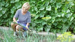 Middle aged woman harvesting onion by hands - stock footage