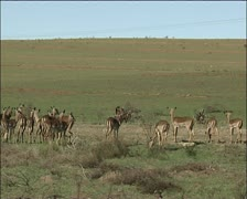 Vechicle drives past herd of impala Stock Footage