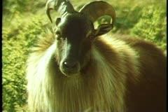 Fjordland National Park, New Zealand, close, zoom out medium, Goat Stock Footage