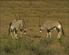 Herd of Gemsbok Stock Footage